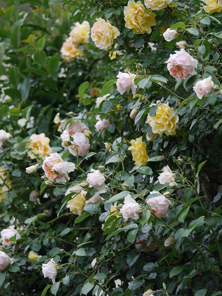 ジンジャー・シラバブ(ツルバラ)の花がたくさん咲いた。2020年-066.jpg