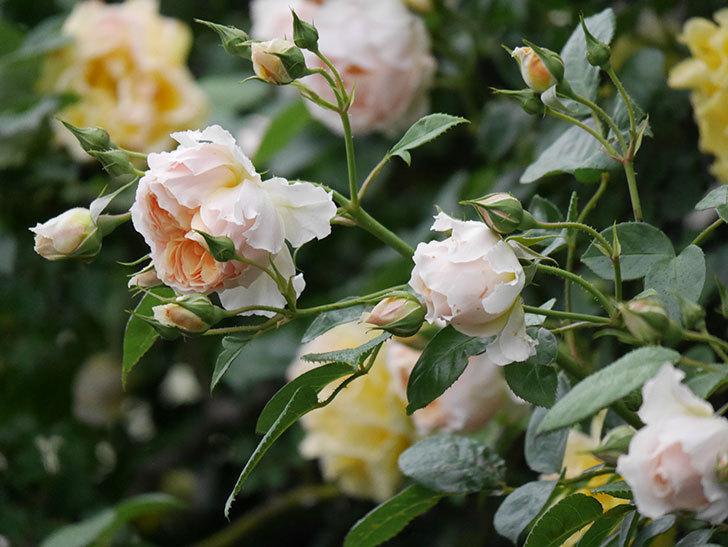 ジンジャー・シラバブ(ツルバラ)の花がたくさん咲いた。2020年-067.jpg