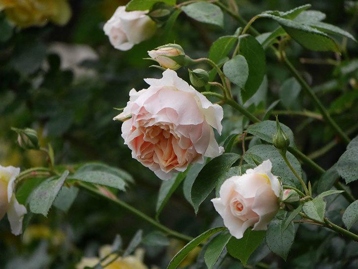 ジンジャー・シラバブ(ツルバラ)の花がたくさん咲いた。2020年-068.jpg