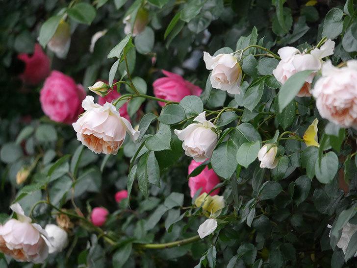 ジンジャー・シラバブ(ツルバラ)の花がたくさん咲いた。2020年-069.jpg