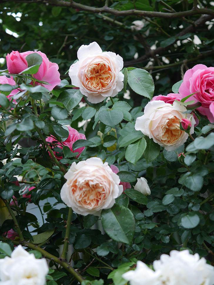 ジンジャー・シラバブ(ツルバラ)の花がたくさん咲いた。2020年-072.jpg
