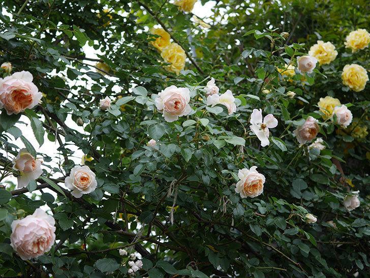 ジンジャー・シラバブ(ツルバラ)の花がたくさん咲いた。2020年-073.jpg
