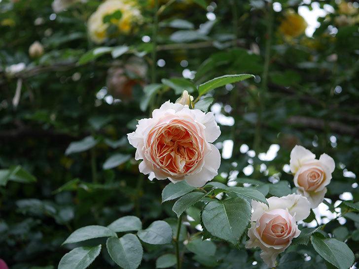 ジンジャー・シラバブ(ツルバラ)の花がたくさん咲いた。2020年-074.jpg