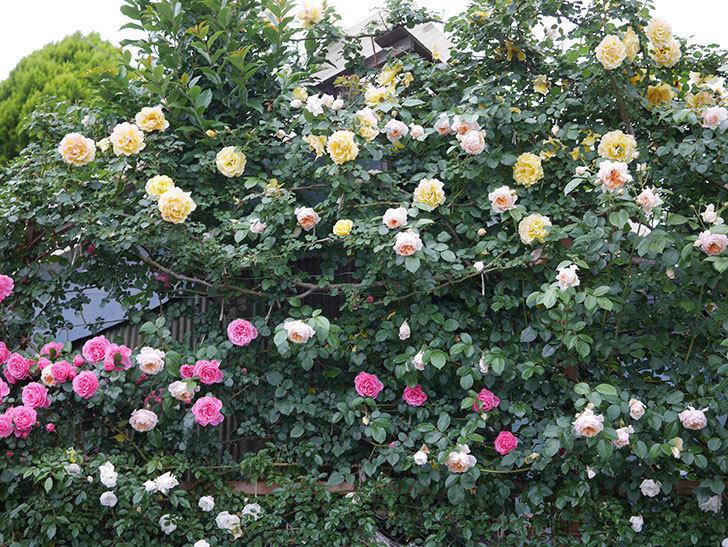 ジンジャー・シラバブ(ツルバラ)の花がたくさん咲いた。2020年-075.jpg