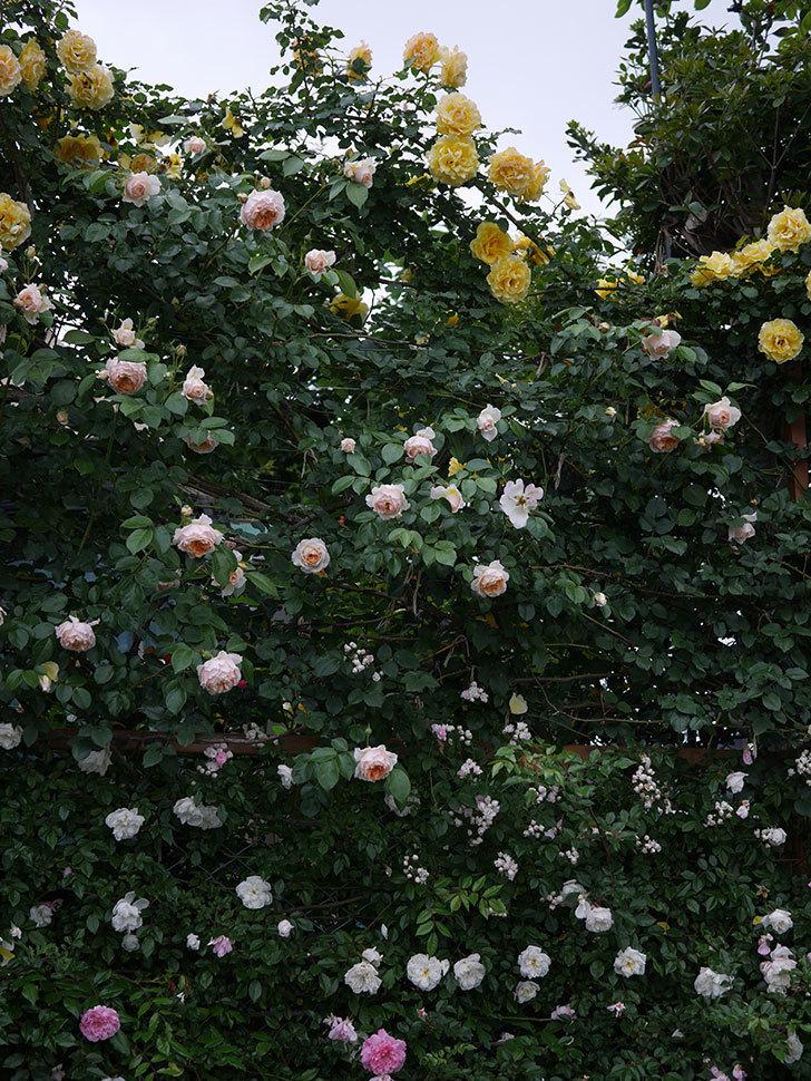 ジンジャー・シラバブ(ツルバラ)の花がたくさん咲いた。2020年-076.jpg
