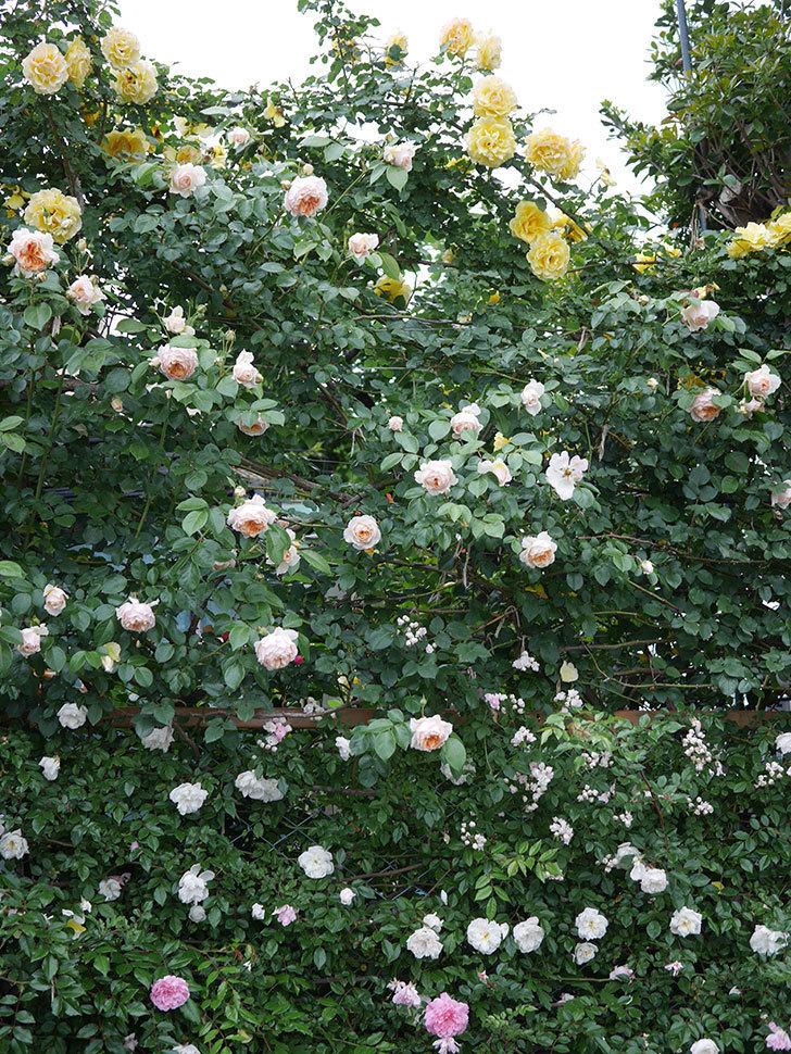 ジンジャー・シラバブ(ツルバラ)の花がたくさん咲いた。2020年-077.jpg