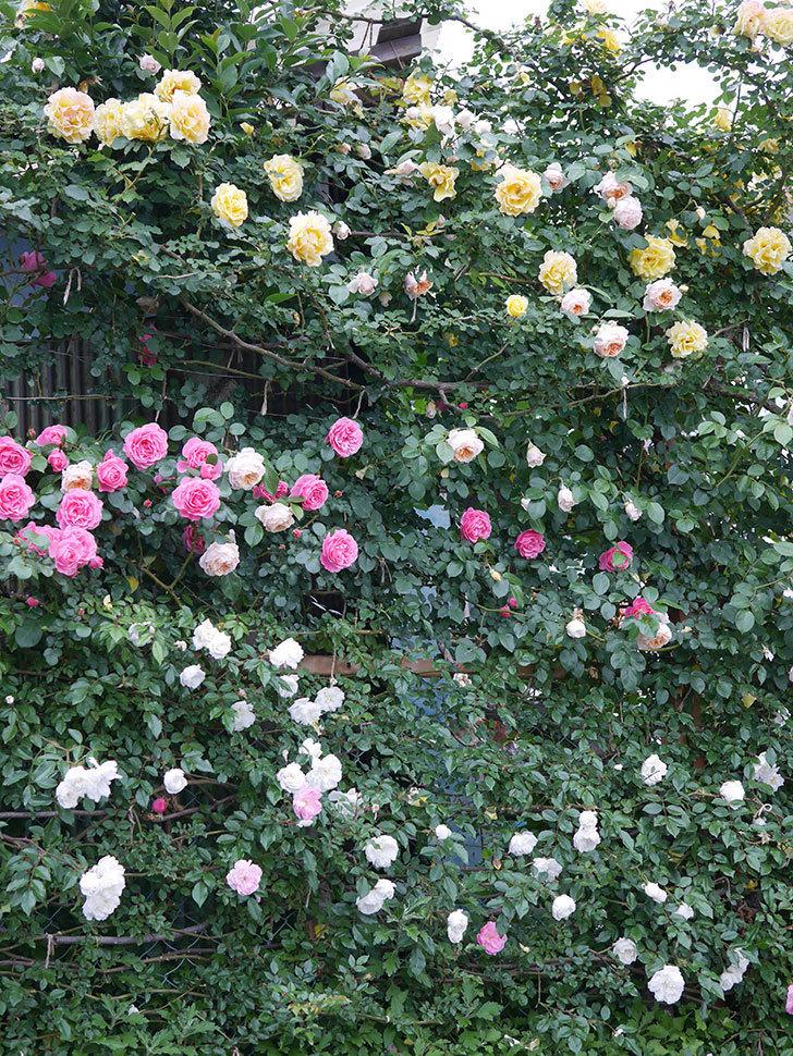 ジンジャー・シラバブ(ツルバラ)の花がたくさん咲いた。2020年-078.jpg