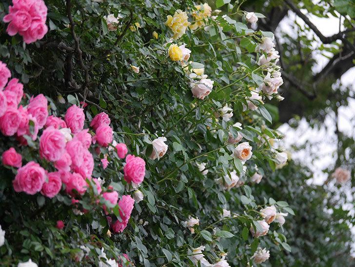 ジンジャー・シラバブ(ツルバラ)の花がたくさん咲いた。2020年-079.jpg