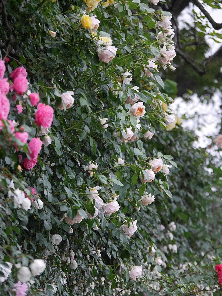 ジンジャー・シラバブ(ツルバラ)の花がたくさん咲いた。2020年-080.jpg