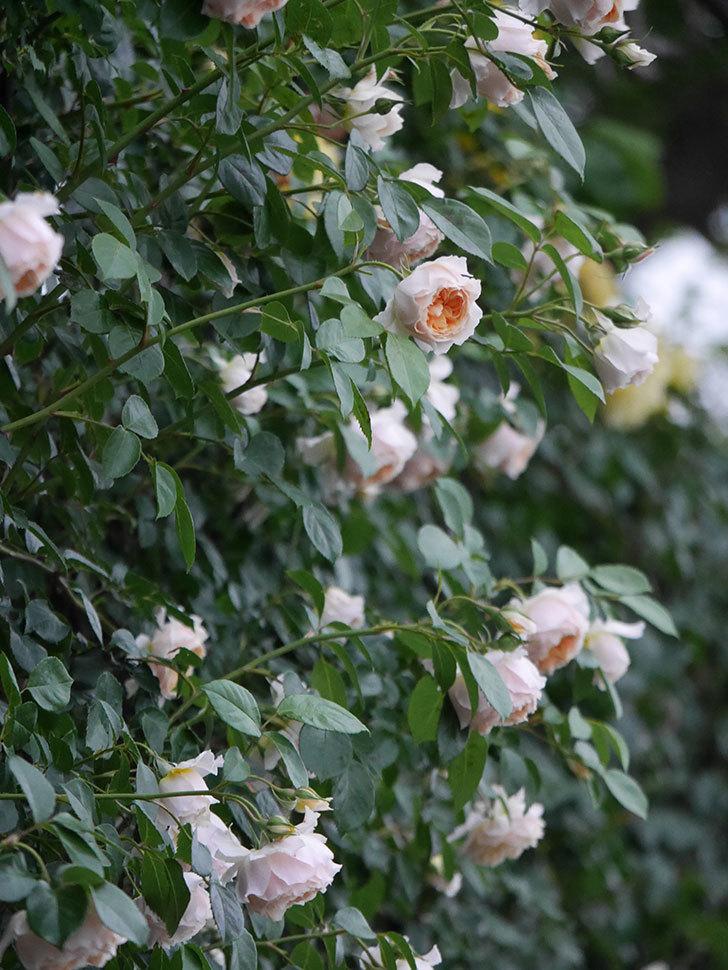 ジンジャー・シラバブ(ツルバラ)の花がたくさん咲いた。2020年-081.jpg