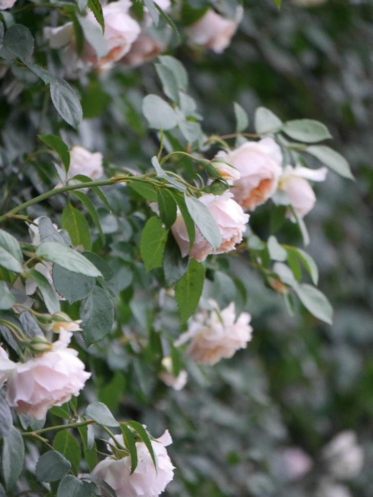 ジンジャー・シラバブ(ツルバラ)の花がたくさん咲いた。2020年-082.jpg