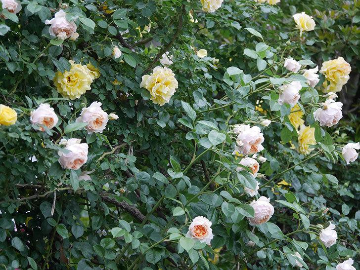 ジンジャー・シラバブ(ツルバラ)の花がたくさん咲いた。2020年-083.jpg