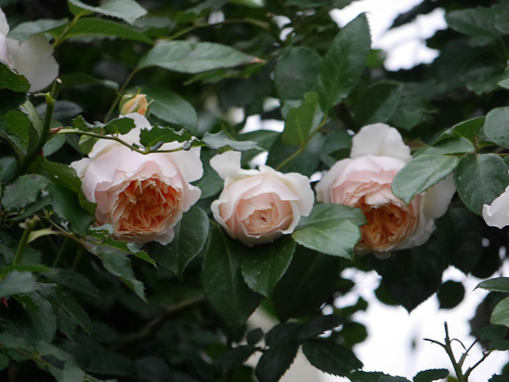 ジンジャー・シラバブ(ツルバラ)の花がたくさん咲いた。2020年-085.jpg