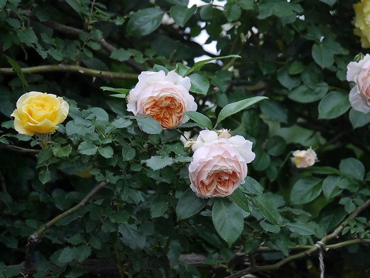 ジンジャー・シラバブ(ツルバラ)の花がたくさん咲いた。2020年-087.jpg