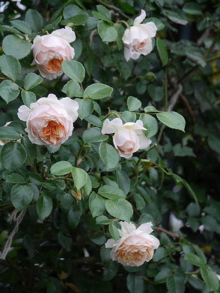 ジンジャー・シラバブ(ツルバラ)の花がたくさん咲いた。2020年-088.jpg