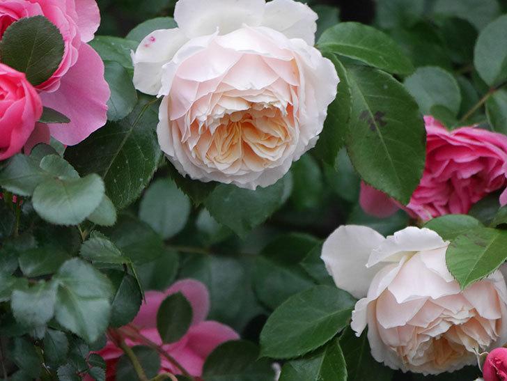ジンジャー・シラバブ(ツルバラ)の花がたくさん咲いた。2020年-089.jpg