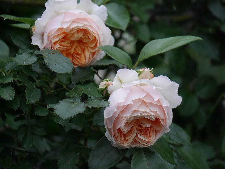 ジンジャー・シラバブ(ツルバラ)の花がたくさん咲いた。2020年-090.jpg