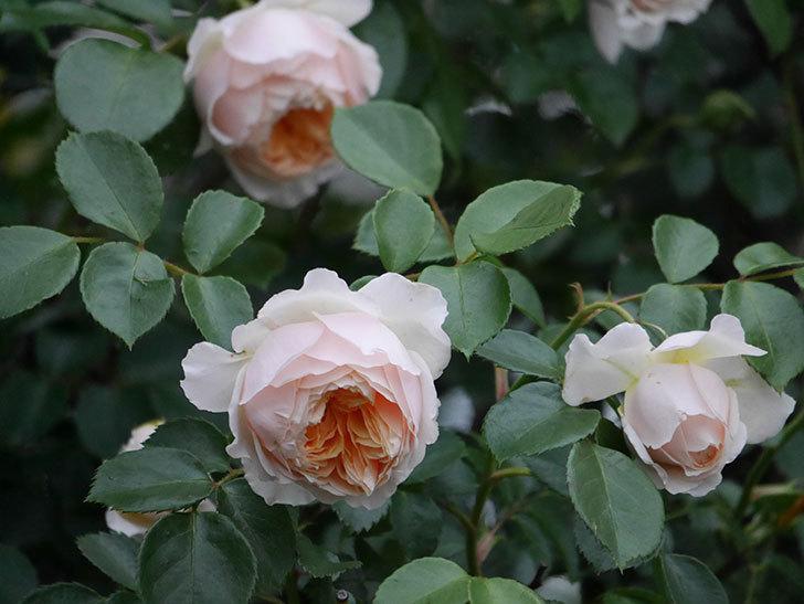ジンジャー・シラバブ(ツルバラ)の花がたくさん咲いた。2020年-091.jpg