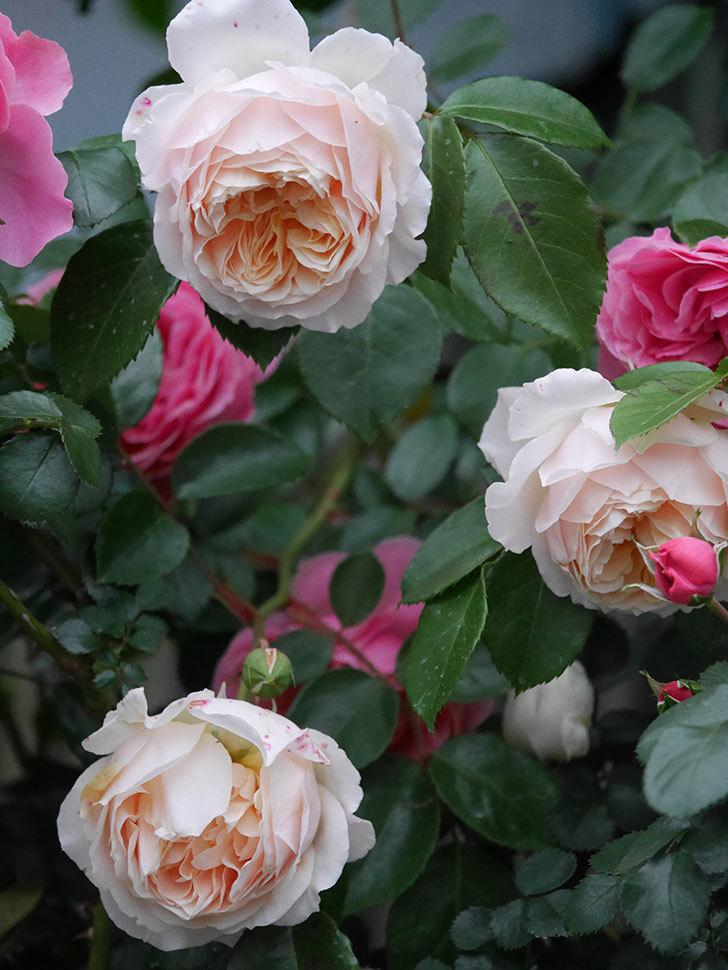 ジンジャー・シラバブ(ツルバラ)の花がたくさん咲いた。2020年-092.jpg