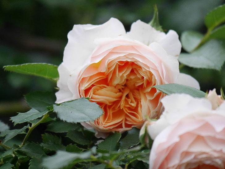 ジンジャー・シラバブ(ツルバラ)の花がたくさん咲いた。2020年-093.jpg