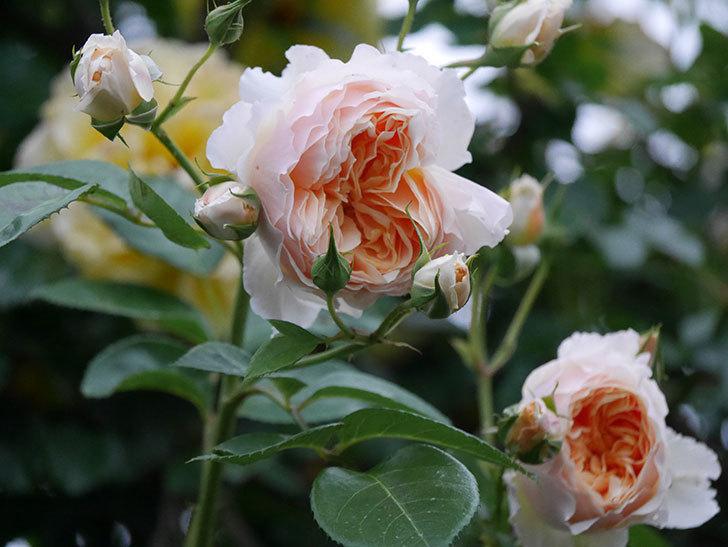 ジンジャー・シラバブ(ツルバラ)の花がたくさん咲いた。2020年-094.jpg