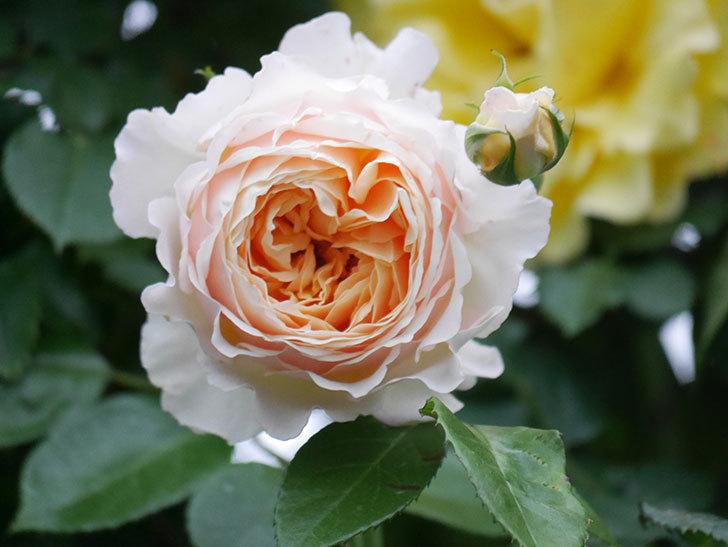 ジンジャー・シラバブ(ツルバラ)の花がたくさん咲いた。2020年-095.jpg