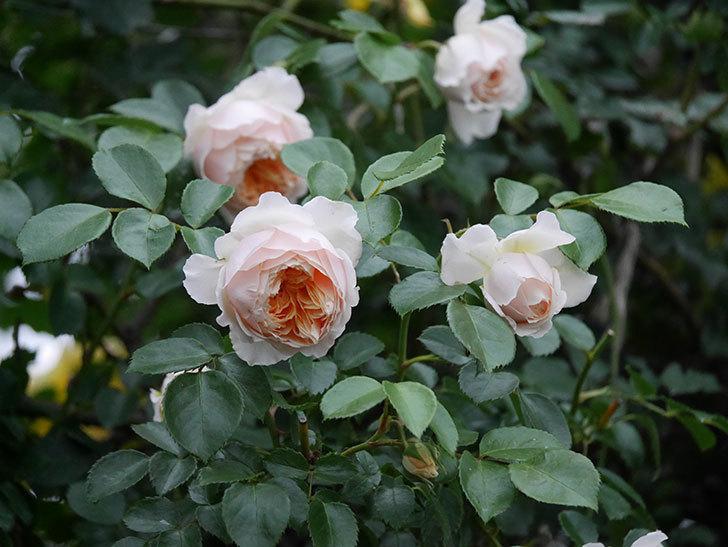 ジンジャー・シラバブ(ツルバラ)の花がたくさん咲いた。2020年-096.jpg