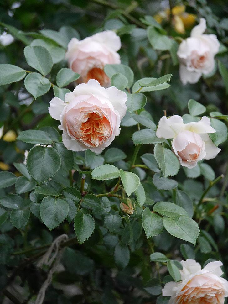 ジンジャー・シラバブ(ツルバラ)の花がたくさん咲いた。2020年-097.jpg