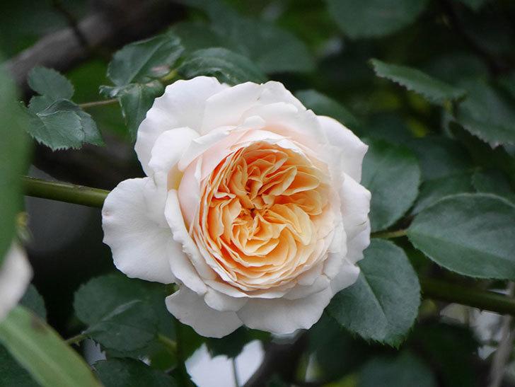 ジンジャー・シラバブ(ツルバラ)の花がたくさん咲いた。2020年-098.jpg