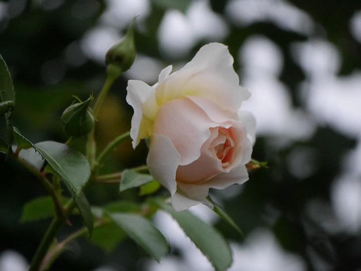 ジンジャー・シラバブ(ツルバラ)の花がたくさん咲いた。2020年-099.jpg