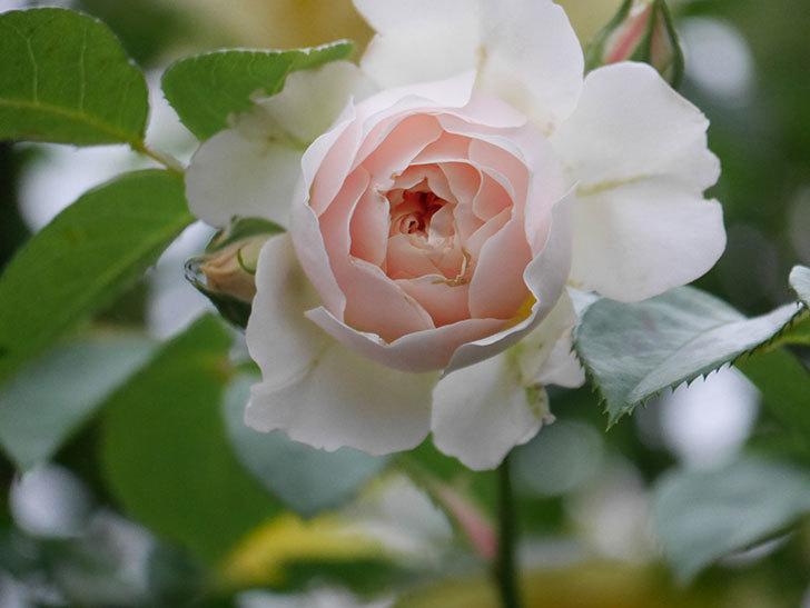 ジンジャー・シラバブ(ツルバラ)の花がたくさん咲いた。2020年-100.jpg