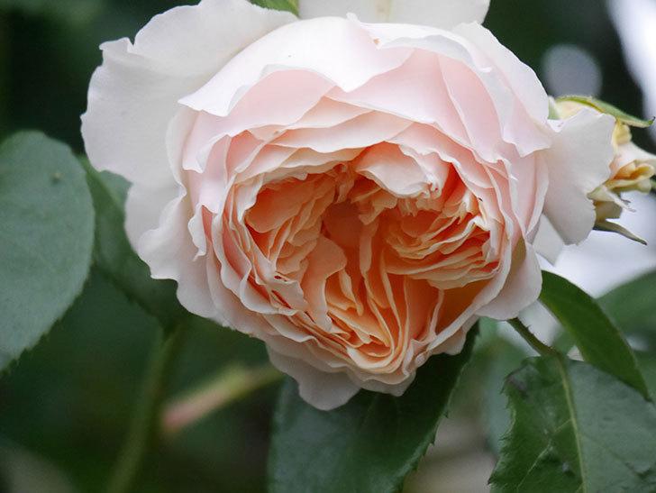 ジンジャー・シラバブ(ツルバラ)の花がたくさん咲いた。2020年-101.jpg
