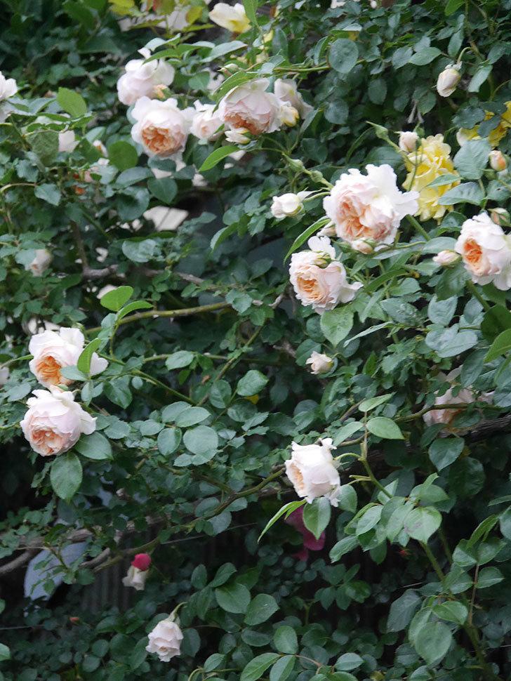 ジンジャー・シラバブ(ツルバラ)の花がたくさん咲いた。2020年-103.jpg