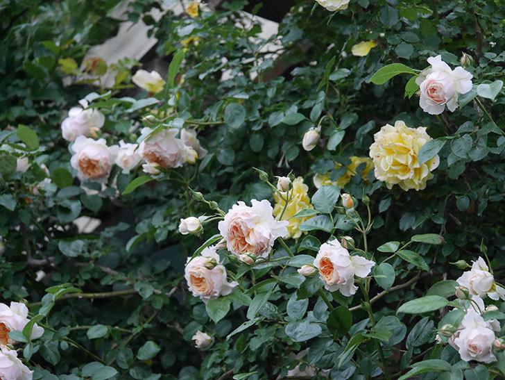 ジンジャー・シラバブ(ツルバラ)の花がたくさん咲いた。2020年-104.jpg
