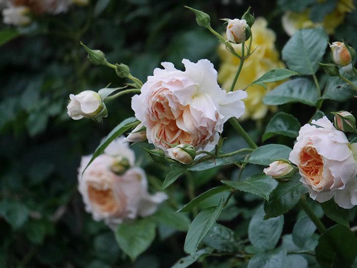 ジンジャー・シラバブ(ツルバラ)の花がたくさん咲いた。2020年-105.jpg