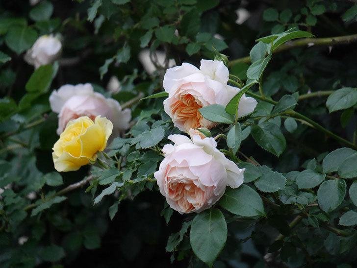 ジンジャー・シラバブ(ツルバラ)の花がたくさん咲いた。2020年-106.jpg