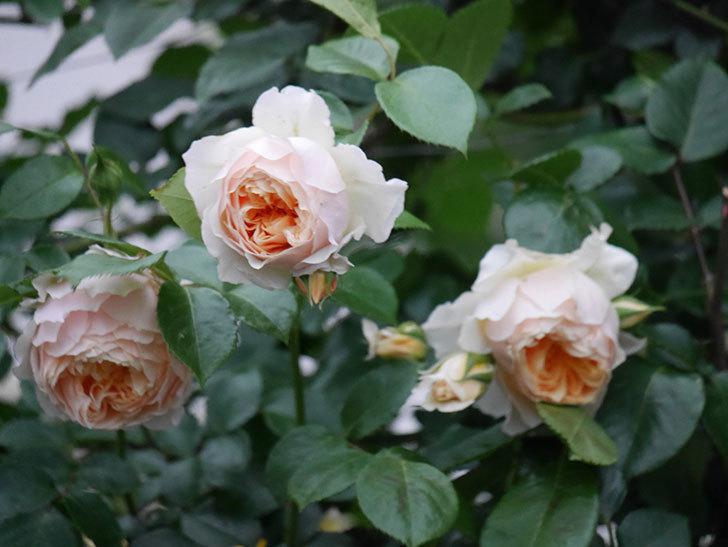 ジンジャー・シラバブ(ツルバラ)の花がたくさん咲いた。2020年-107.jpg