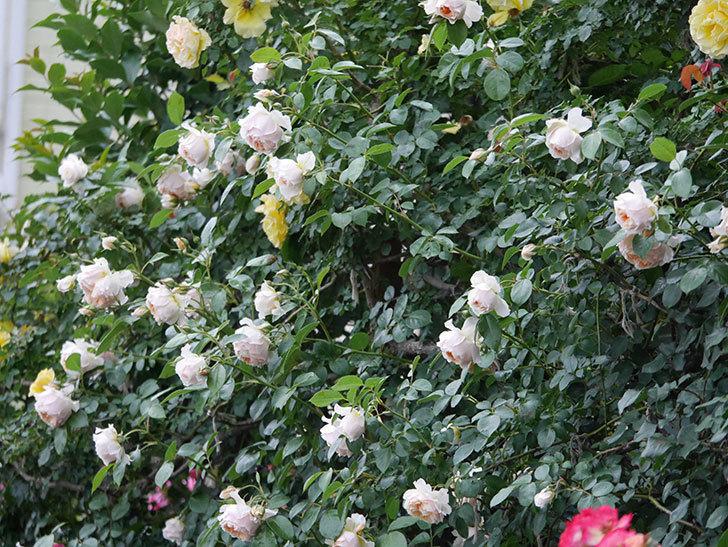ジンジャー・シラバブ(ツルバラ)の花がたくさん咲いた。2020年-108.jpg