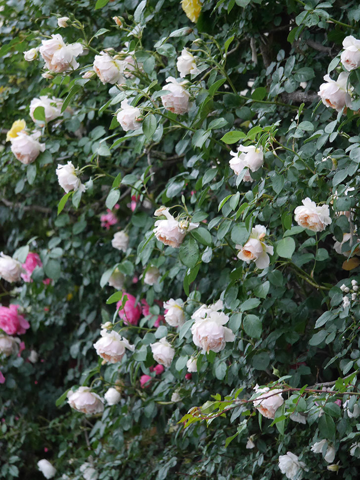 ジンジャー・シラバブ(ツルバラ)の花がたくさん咲いた。2020年-109.jpg