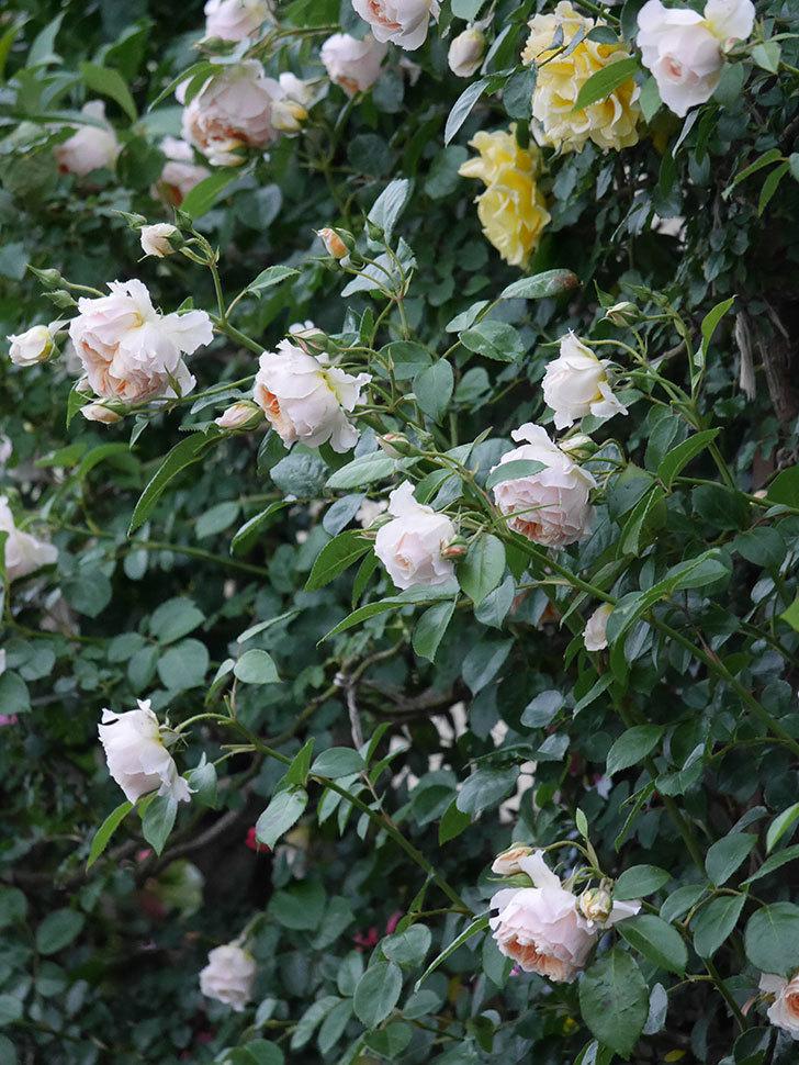ジンジャー・シラバブ(ツルバラ)の花がたくさん咲いた。2020年-110.jpg