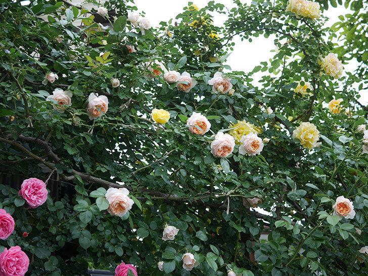 ジンジャー・シラバブ(ツルバラ)の花がたくさん咲いた。2020年-111.jpg