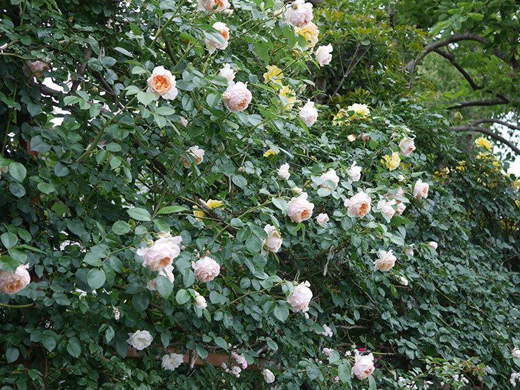 ジンジャー・シラバブ(ツルバラ)の花がたくさん咲いた。2020年-112.jpg