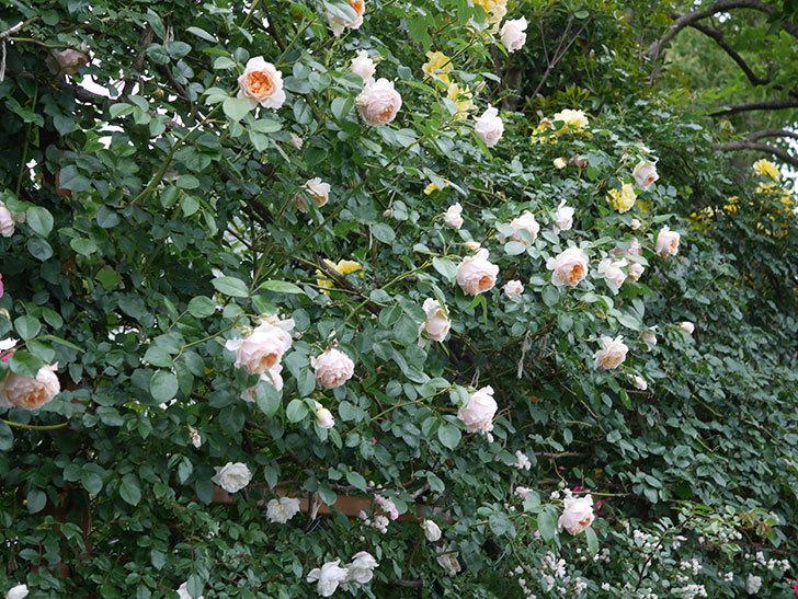ジンジャー・シラバブ(ツルバラ)の花がたくさん咲いた。2020年-114.jpg