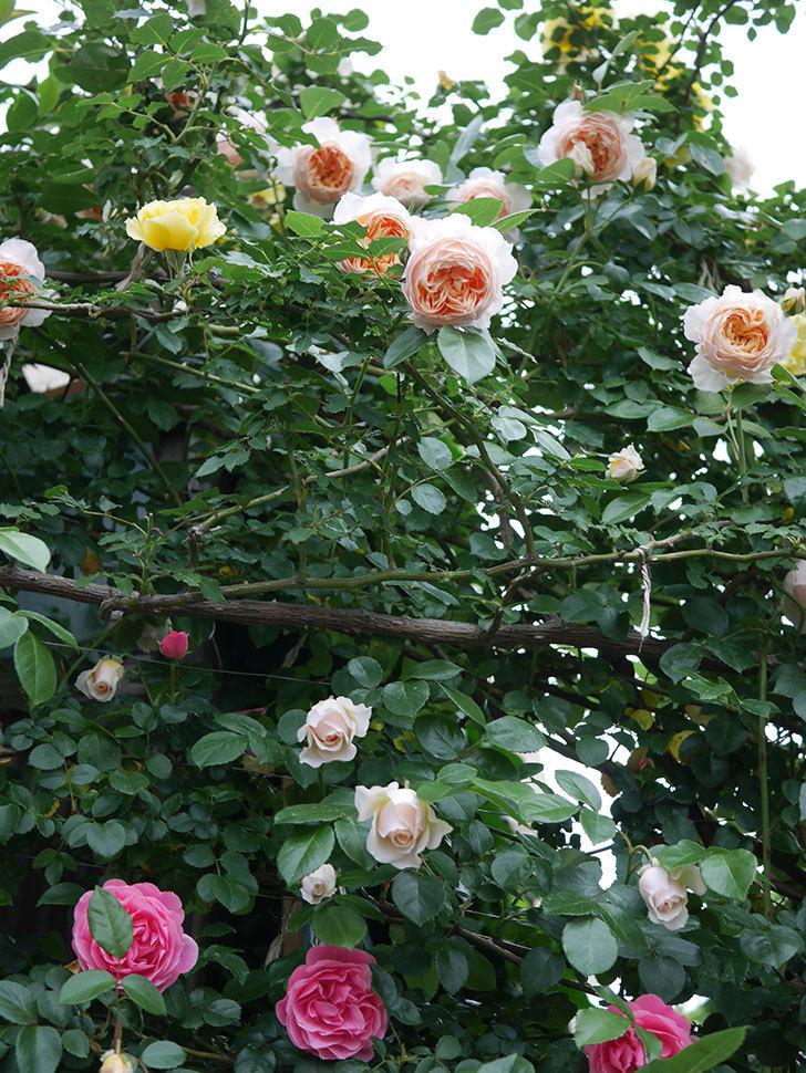 ジンジャー・シラバブ(ツルバラ)の花がたくさん咲いた。2020年-115.jpg
