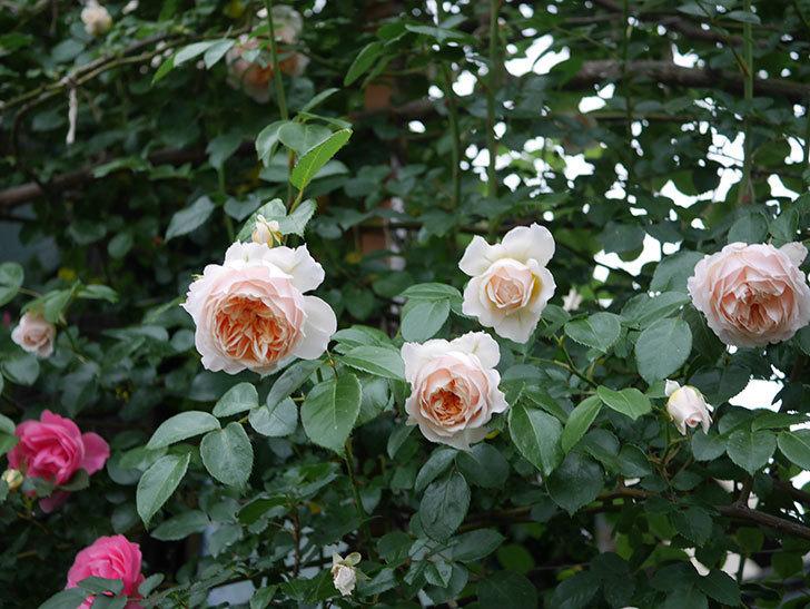 ジンジャー・シラバブ(ツルバラ)の花がたくさん咲いた。2020年-116.jpg