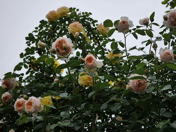 ジンジャー・シラバブ(ツルバラ)の花がたくさん咲いた。2020年-117.jpg
