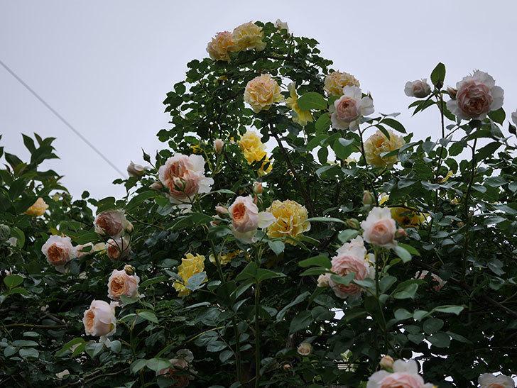 ジンジャー・シラバブ(ツルバラ)の花がたくさん咲いた。2020年-118.jpg