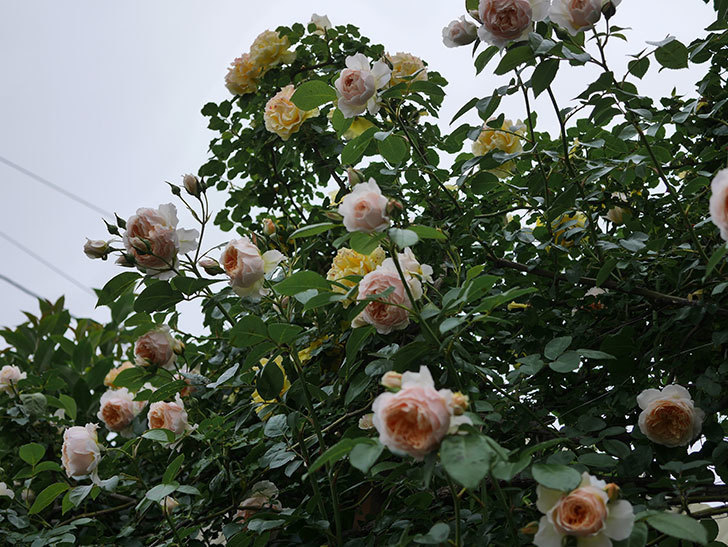 ジンジャー・シラバブ(ツルバラ)の花がたくさん咲いた。2020年-119.jpg