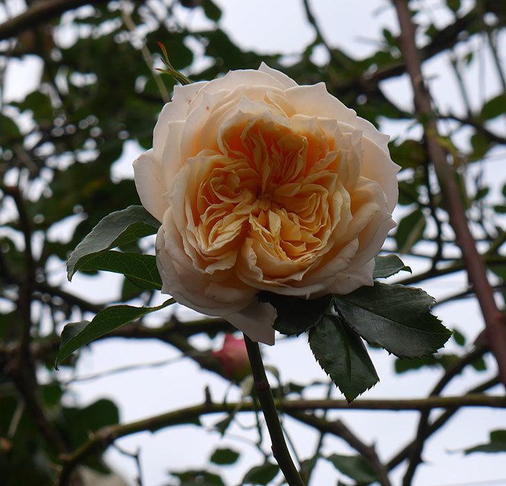 ジンジャー・シラバブ(ツルバラ)の花がまだ咲いている。2019年1-1.jpg