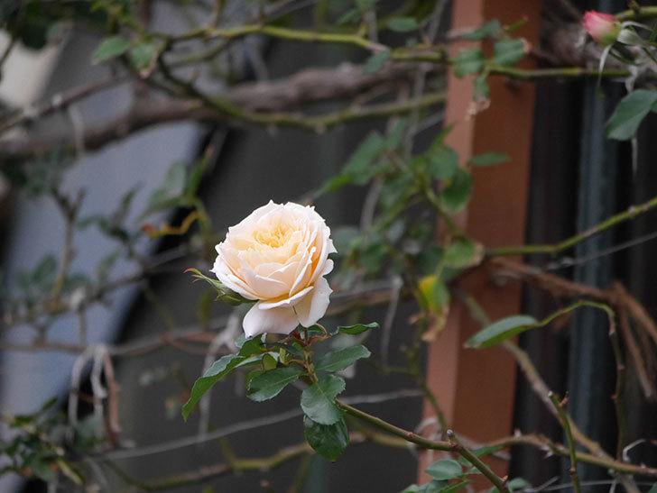 ジンジャー・シラバブ(ツルバラ)の花がまだ咲いている。2019年1-10.jpg